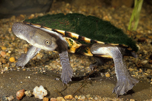 Eastern long neck turtle