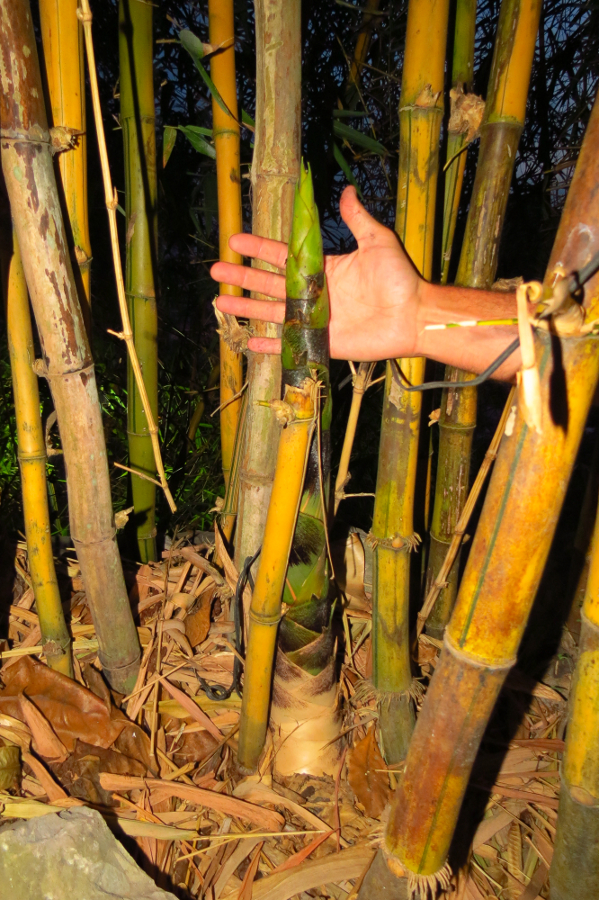 http://www.carettochelys.com/images/misc/palms/bamboo01_small.jpg